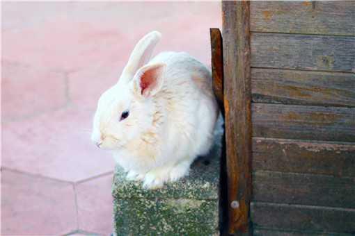 细绒兔饲养注意事项是什么