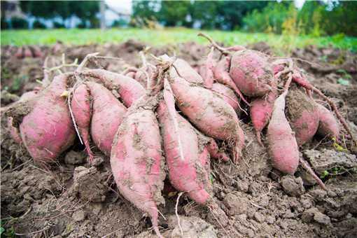 红薯怎样保存长期不坏