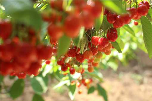 车厘子树苗栽培方法是什么
