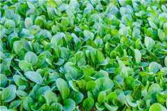 鸡毛菜长大了是什么菜?另附其种植方法和时间!