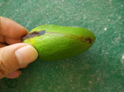 芒果小穴壳蒂腐病