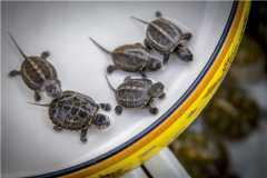 乌龟的饲养方法是什么?有哪些注意事项?