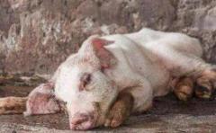 非洲猪瘟母猪症状有哪些?