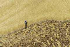 小麦的常见病害以及防治方法是什么?