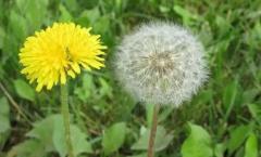 蒲公英蜜粉怎么用,蒲公英蜜粉的使用方法教程