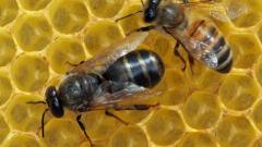 无刺蜂蜜的治疗作用