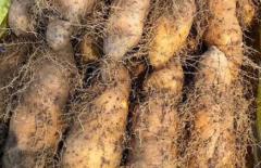 毛薯和山药的区别,吃毛薯的好处
