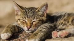 日本田园猫多少元一只