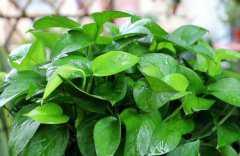 绿萝叶子发黄怎样救治,如何让绿萝叶子变油绿