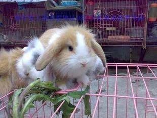 垂耳兔价格是多少钱
