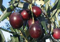 油橄榄果的功效与作用