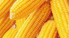 玉米产量每亩多少斤
