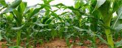 h555玉米品种