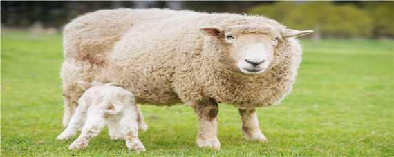 绵羊养殖成本及利润分析