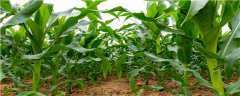 中元598玉米种特征特性