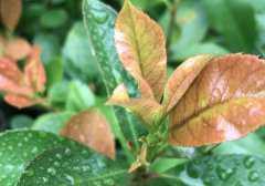 石楠叶的功效与作用,石楠叶的副作用