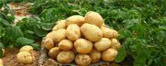 土豆最佳的种植方法