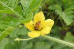 西瓜花的功效与作用,西瓜花的禁忌有哪些