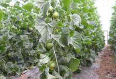 绿宝石瓜如何种植,绿宝石瓜的种植方法