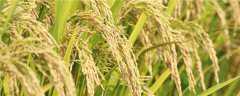 再生稻品种有哪些
