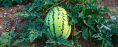 种植西瓜的步骤以及方法