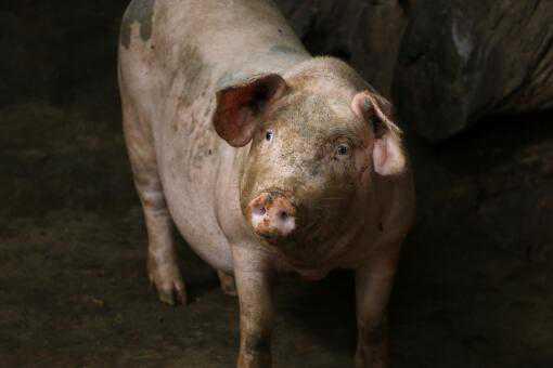 生猪价格会跌至10元吗