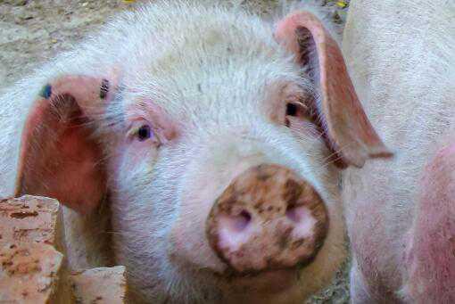 2021猪价