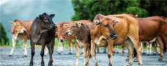 小牛犊拉绿屎是什么原因