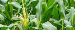 积温2250左右玉米种子