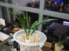 盆栽兰花的养殖方法和注意事项