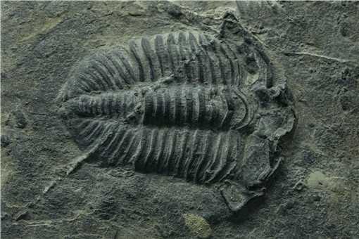 贵州发现2.44亿年前大型盘州暴鱼