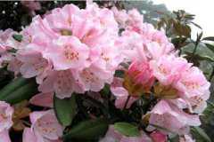 猴头杜鹃什么时候开花,花期养护方法整理