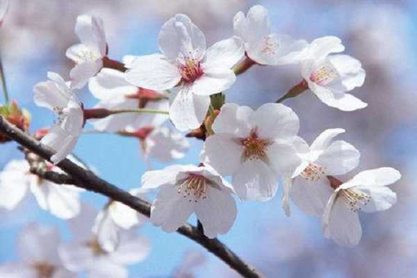 海棠花和樱花的区别是什么 怎样分辨这两种植物