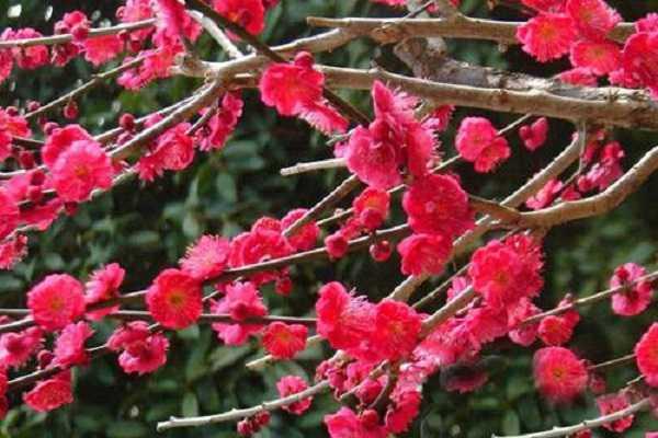 朱砂梅和骨红梅的区别主要有哪些