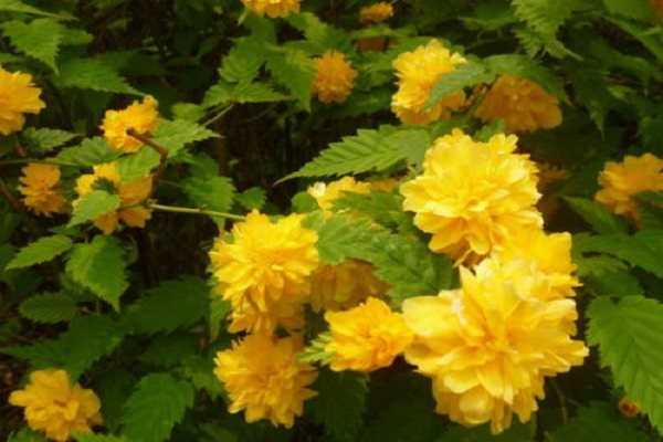 棣棠花和黄刺玫的区别是什么 二者的区分方法