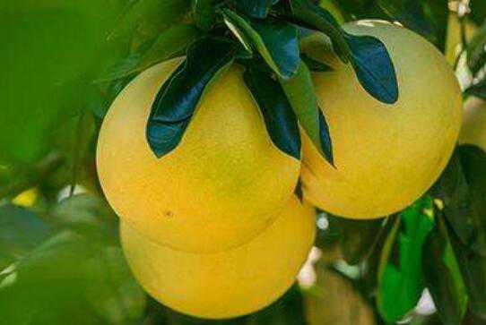 吃蜜柚的好处 吃蜜柚的功效与作用