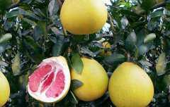 吃蜜柚的好处,吃蜜柚的功效与作用