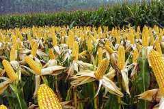 不伤玉米苗的除草剂有哪些