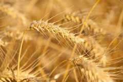 冬小麦拔节期怎么追肥,注意事项有哪些