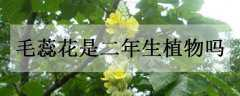 毛蕊花是二年生植物吗