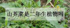 山芥菜是二年生植物吗