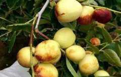 什么是梨枣,梨枣的特点和功效