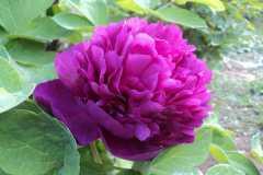牡丹大魏紫和魏紫区别,牡丹的特点是什么