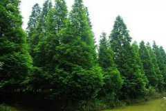 裸根松树的移栽不死的方法,注意事项有哪些