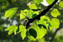 梧桐树几年能长成大树,如何养护生长好