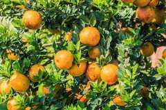 桔子树移栽要不要剪叶,移栽的方法是什么