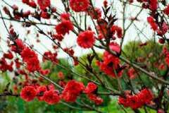 红梅花和海棠花的区别是什么,怎样区分二者