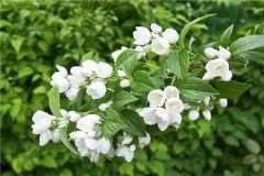 茉莉和非洲茉莉的区别是什么,如何分辨这两种植物