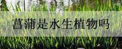菖蒲是水生植物吗
