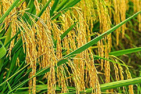 水稻种植技术,水稻养殖方法总结